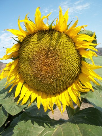 can you have sunflower seeds on gaps diet